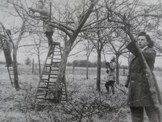 Land Girls working an orchard.