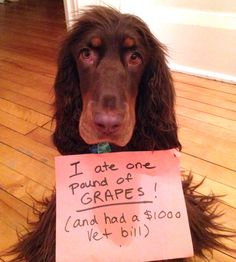 Yummy grapes! I'll steal and eat a pound off the counter…because I am a Field Spaniel and I thieve for a living. NO ONE TOLD ME THEY WERE POISONOUS! They looked REALLY good. My name is Arfie and I am fine now. But my Owner wasn't after getting the $1000 Vet bill.