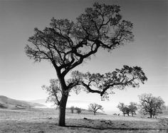 tree | Oak Tree & Valley Fog, Tehachapi Mountains, California, 1989