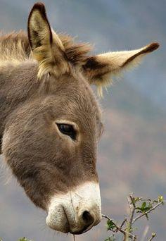 Donkey Baby Donkey, Cute Donkey, Cute Baby Animals, Farm Animals, Animals And Pets, Beautiful Horses, Animals Beautiful, Miniature Donkey, Majestic Animals