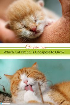 """Oddball topic (and really when you see """"the one"""" it may not matter), but what breed of cat is cheapest to own?"""