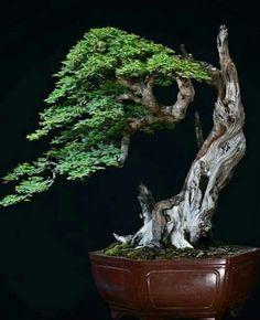 Indoor Bonsai Tree, Bonsai Trees, Juniper Bonsai, Miniature Trees, Tiny World, Bonsai Garden, Cactus Y Suculentas, Tropical Flowers, Shrubs