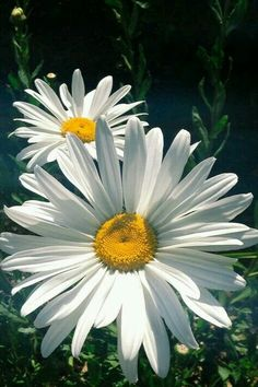 "Tulpenacht: ""Shasta Daisies by Marishka Gourno"" - Blumen Bilder Happy Flowers, Simple Flowers, My Flower, White Flowers, Flower Art, Beautiful Flowers, Shasta Daisies, Sunflowers And Daisies, Gerber Daisies"