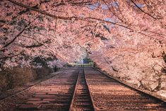 """lifeisverybeautiful: """"Cherry Blossoms, Kyoto, Japan by wasabitool """" - Landscape Photography, Nature Photography, Photography Tricks, Digital Photography, Photo Rose, Cherry Blossom Wallpaper, Nature Tree, Flowers Nature, Pink Flowers"""