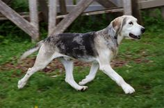 Dunker a.k.a the Norwegian Hound! | PuppyDogPalace