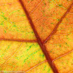 Macrofoto's van herfstbladeren – met je mobiele telefoon