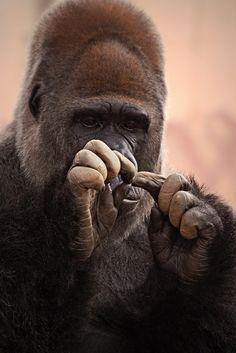 Gorilla Manicure Time by Rossana Coviello Primates, Mammals, Animals And Pets, Funny Animals, Cute Animals, Strange Animals, Animal Fun, Wild Animals, Beautiful Creatures