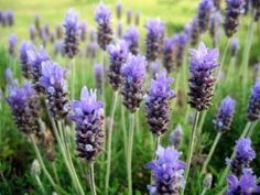How to grow lavender and propagate it #LavenderFields