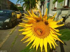 Napraforgó Szombathely belvárosában Fotó: Nyugat.hu Marvel, Plants, Plant, Planets