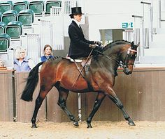 Dressage sidesaddle  Thursden Vallye Raphael Dressage and Showing Pony Stallion at stud