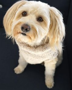 According to @MichaelStarsInc, turtlenecks are key this season! ❄️❤️🌟🎁 #dogs_of_instagram #woofwoof #wheaten#whoodle #mascot #officepup#pupstagram  #cute #dog #woof #wheatenterrier #mykonosdog #rescuedog #petstagram #dogs_of_instagram #dogfeatures #happydecember #holidays #fashion #michaelstars #mascot #zeedogmafia #turtleneck #fashionista #🐾