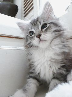 grey maine coon kitten. im definatly asking for one of them for christmas. i think ill name her Audrey(: More