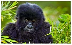 jeune gorille dans la jugle