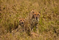 Did you know cheetahs hunt during the day?🐆 They do this to avoid competition from other predators such as lions, hyenas and leopards who are most active at night 🌙 Thanks to their speed and brilliant eyesight, a cheetah hunt is one of the most thrilling things to see in the wild! Thanks to our guest Christine Gigliotti for the fantastic photo! 🌍 #WildlifeWednesday