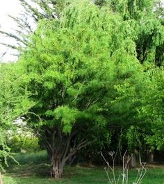 Todo verde un algarrobo recuperado, especie protegida.