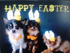 Easter chihuahua's