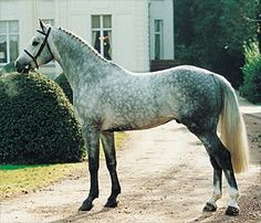 A dappled grey Dutch Warmblood. My dream horse! so huge in size (anywhere from 16.5-18.7 hands tall in stature!) and great temperament. a very versatile horse, perfect for both jumping and dressage, with excellent muscle tone and flexibility. AHH I WANT A DUTCH WARMBLOOD NOW!