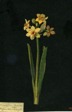 Yellow Narcissus by Delany