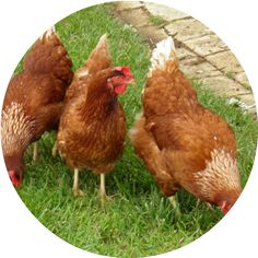 Grubblies  USA-Grown Treats For Your Chickens,Direct to Your Door  Start Free Trial