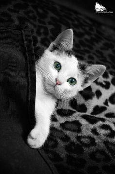 under the blanket ! by mh_adnan   Cute kitten under the blanket …! via http://ift.tt/1iMpKws