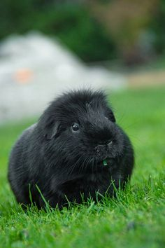 Gus the guinea pig by GeorgieAriel, via Flickr