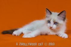 2013: Jake Sully A Zwollywood Cat. 10 Weeks old Ragdoll kitten, seal bicolour. Avatar litter.