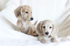 English cream longhaired dachshund puppies