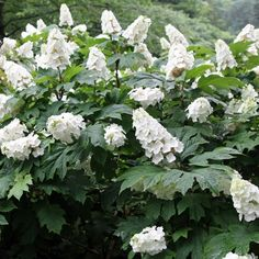 Oakleaf Hydrangea 'Snow Queen' - large white flowers mature to rose pink. Leaves turn brilliant crimson in fall. Buy Plants, Oakleaf Hydrangea, Plants, Sacred Garden, Flowering Shrubs, Blossom Flower, Plant Combinations, Buy Plants Online, Home Garden Plants