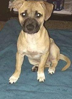 Boxer Lab Mixes, Boxer Puppies, Boxer Mix, Bull Terrier Dog, Terrier Mix, Mountain Dogs, Bernese Mountain, Brindle Boxer, Adoptable Beagle