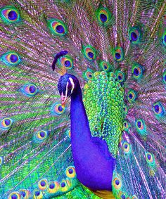 Jazzy Peacock