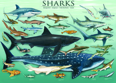EuroGraphics Sharks 1000-Piece Puzzle. Experience the wonder of the most captivating and fear-inspiring inhabitants of the sea. Over 25 of these exciting and fierce sea creatures are illustrated, including the great white shark, the whale shark, the nursehound and the great hammerhead shark.