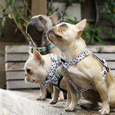 French Bulldogs, @frenchieleo on instagram.