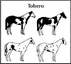(Also Called Tovero. Tobiano x Overo) PHAA Horse Registration Guidelines.
