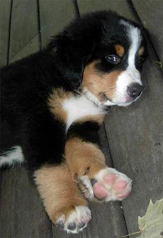 5 shortest living dog breeds | Breed#02