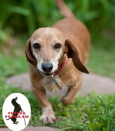 Heidi ....one of the many dachshunds looking for her forever home...please check out this link to find out more about Furever Dachshund Rescue