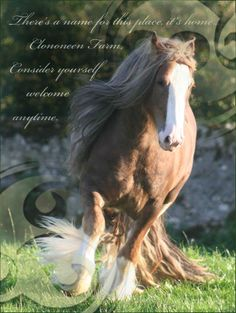 Clononeen Farm - Gypsy Cob Horses For Sale
