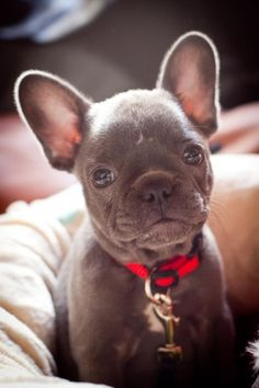 Cure grey puppy in a red collar. #dog #pet