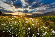 Cosmos at Sunset, at St. Forts, Claren's in de Easter Free State, in South Africa Outdoor Family Photography, Landscape Photography, Nature Photography, Sa Tourism, Wow Image, Cosmos Flowers, Wild Flowers, Free State, Urban Setting