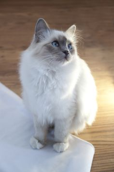 """Birman cats or """"The sacred cat of Burma"""" are thought to have their origin in Burma. Birman cats are vocal cats who like to talk with people around them. They are also social and like to be with people. Birman cats can't live alone for longer periods and that may make them bored or sick in worst cases."""
