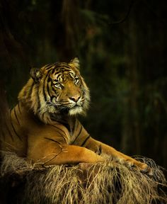 Sumatran Tiger by Art X  on 500px