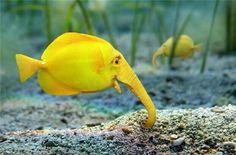 من غرائب الدنيا ، سمكة الفيل ، معقول ؟!