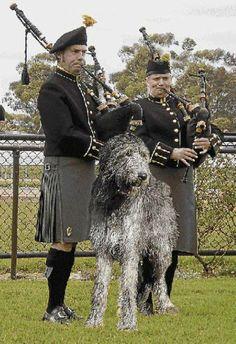 Irish pipers with mascot Irish wolfhound