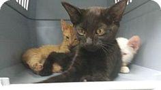 Salem, OR - Domestic Shorthair. Meet Sugar, a kitten for adoption. http://www.adoptapet.com/pet/11310979-salem-oregon-kitten