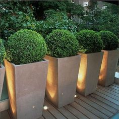 Contemporary Containers Filled with Globe-Shaped Boxwood. The hot new look is to plant globe-shaped boxwood in containers. The up-lit containers above show what a dramatic design containers can achieve. This would be a great look on the walkway to a door or lining the back wall of a small yard or deck.