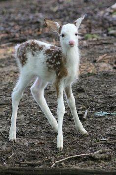 This is soo crazy! Albino baby deer. How cute!! Piebald Whitetails