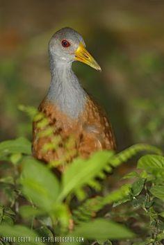 mis fotos de aves: Chiricote [Aramides cajaneus] Grey-necked wood-rai...
