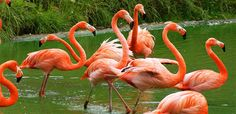 Easy Science for Kids All About Flamingos - Showstoppers of the Bird World. Learn fun facts about Flamingos with our interesting Kids Science Website! Flamingo Rosa, Flamingo Bird, Pink Bird, Why Are Flamingos Pink, Plastic Flamingos, Flamingo Pictures, Flamingo Photo, Greater Flamingo, Beautiful Birds