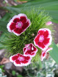 carnation for admiration