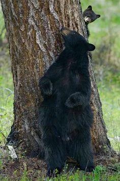 Bears Playing Peek-a-boo