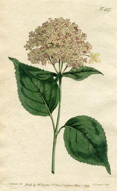 CURTIS BOTANICAL 1799 HYDRANGEA No.437 Hand-Colored Engraving SYDENHAM EDWARDS